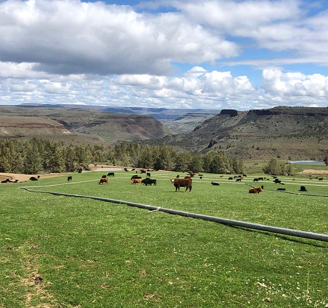 Cattle grazing at Oreganic beef ranch