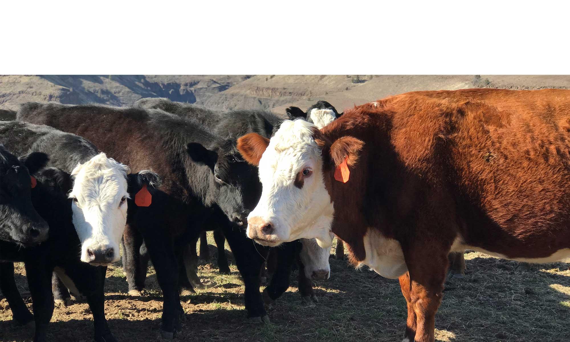 traceability, animals at Rocker 3 Ranch