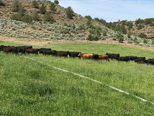 USDA certified organic, Cattle grazing at Rocker 3 Ranch
