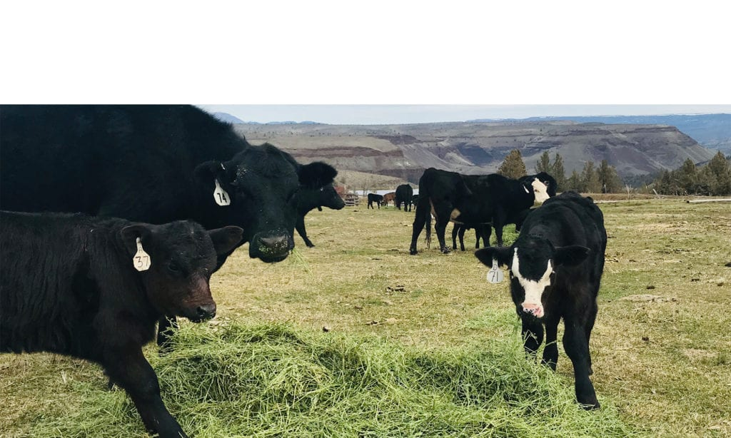 Grass-fed cows; benefits of CLA